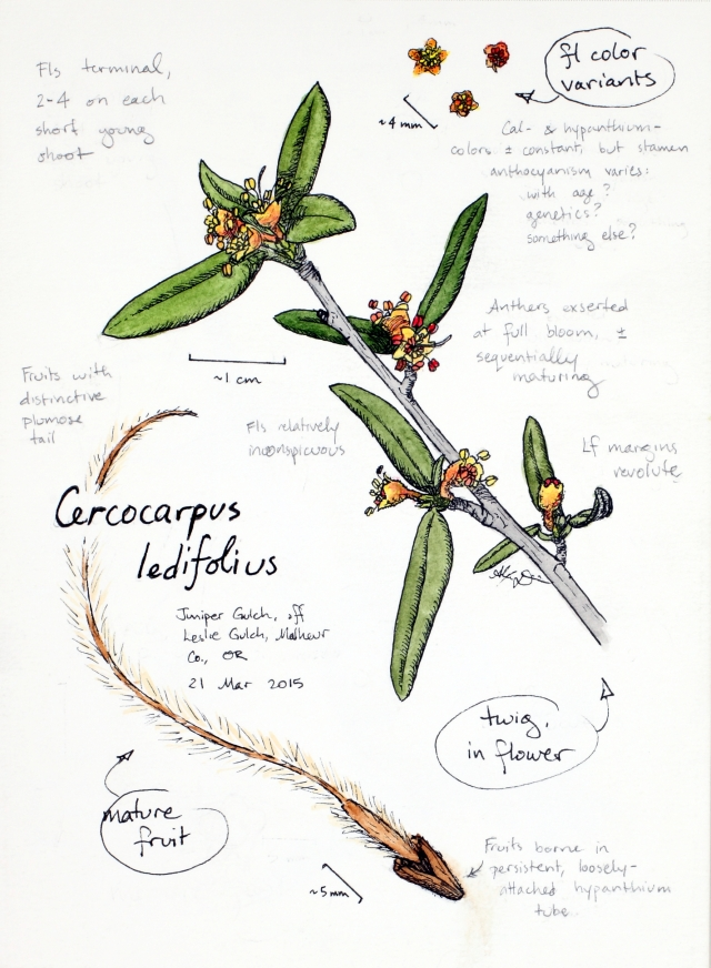 Mountain mahogany (Cercocarpus ledifolius) drawing by Alexa DiNicola