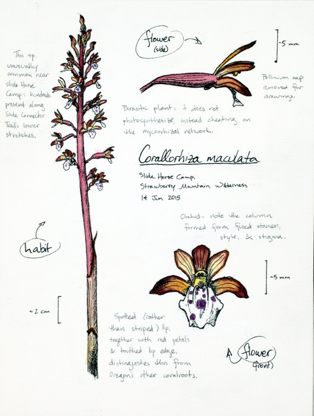 Corallorhiza maculata (spotted coralroot) drawing by Alexa DiNicola