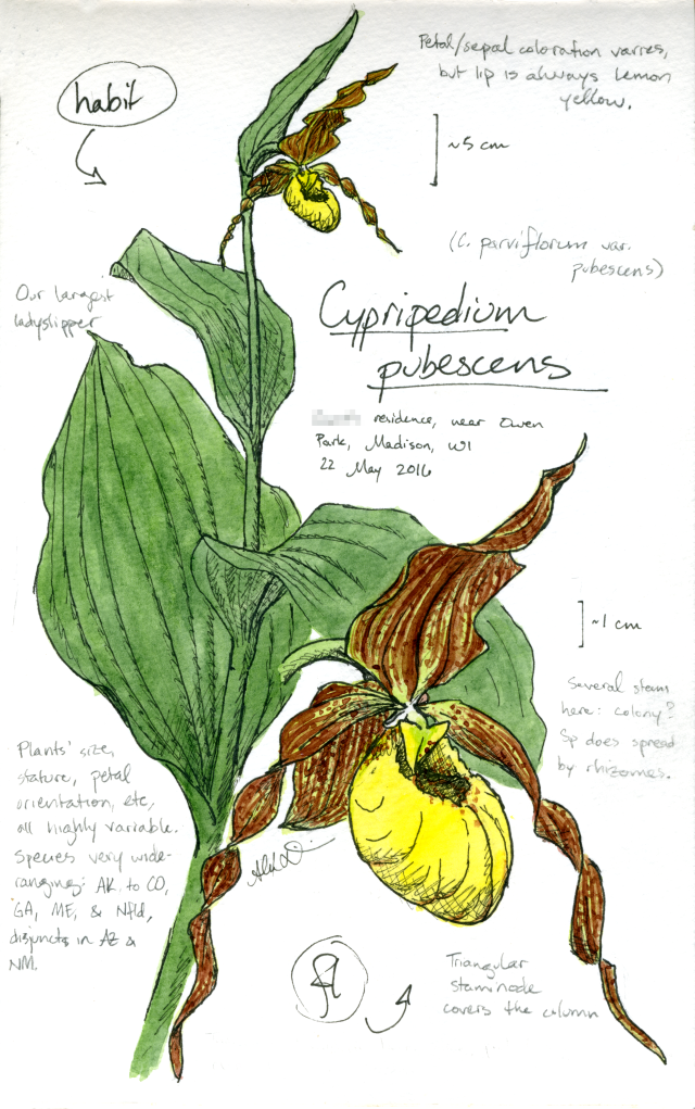 Yellow ladyslipper (Cypripedium pubescens) drawing by Alexa DiNicola