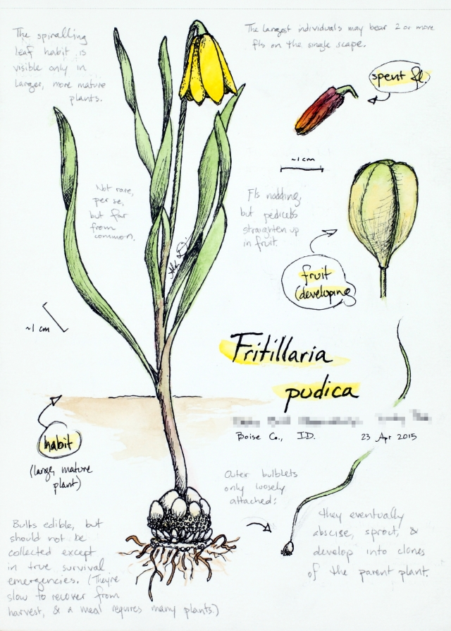 Fritillaria pudica (yellow-bells) drawing by Alexa DiNicola