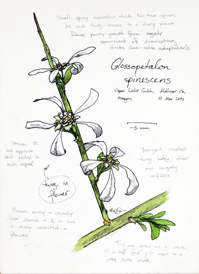 Spiny greasebush (Glossopetalon spinescens) drawing by Alexa DiNicola