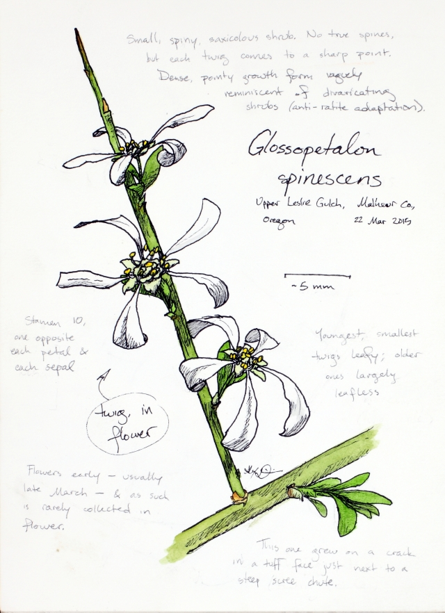 Glossopetalon spinescens (spiny greasebush) drawing by Alexa DiNicola