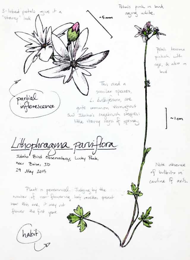 Smallflower woodland-star (Lithophragma parviflorum) drawing by Alexa DiNicola
