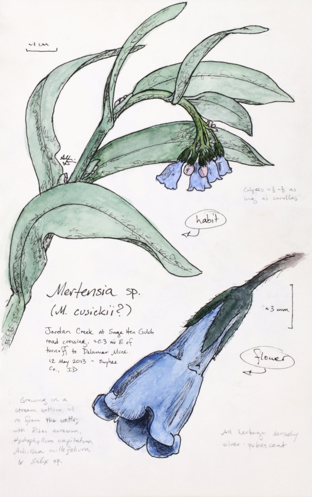 Mertensia cf. cusickii (chiming bells) drawing by Alexa DiNicola