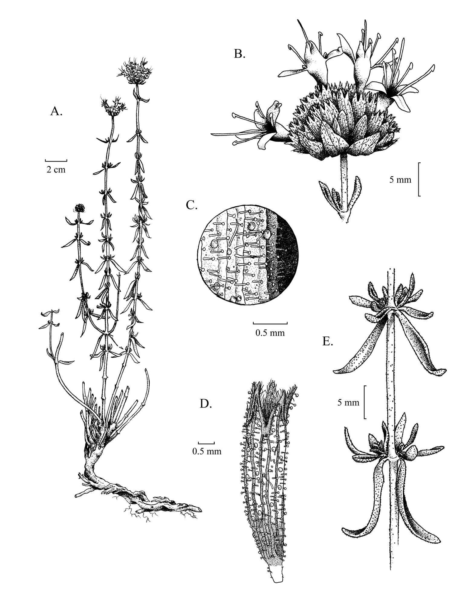 Monardella angustifolia taxonomic illustration by Alexa DiNicola