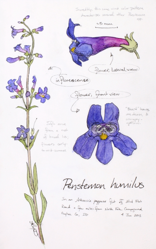 Penstemon humilus (humble penstemon) drawing by Alexa DiNicola