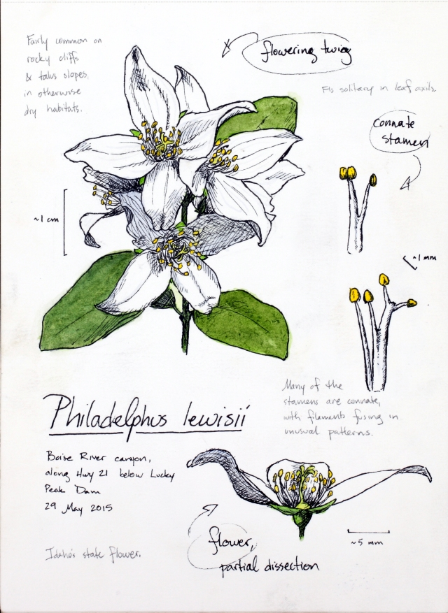 Philadelphus lewisii (syringa) drawing by Alexa DiNicola