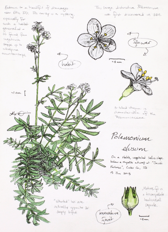 Polemonium elusum (elusive Jacob's-ladder) drawing by Alexa DiNicola