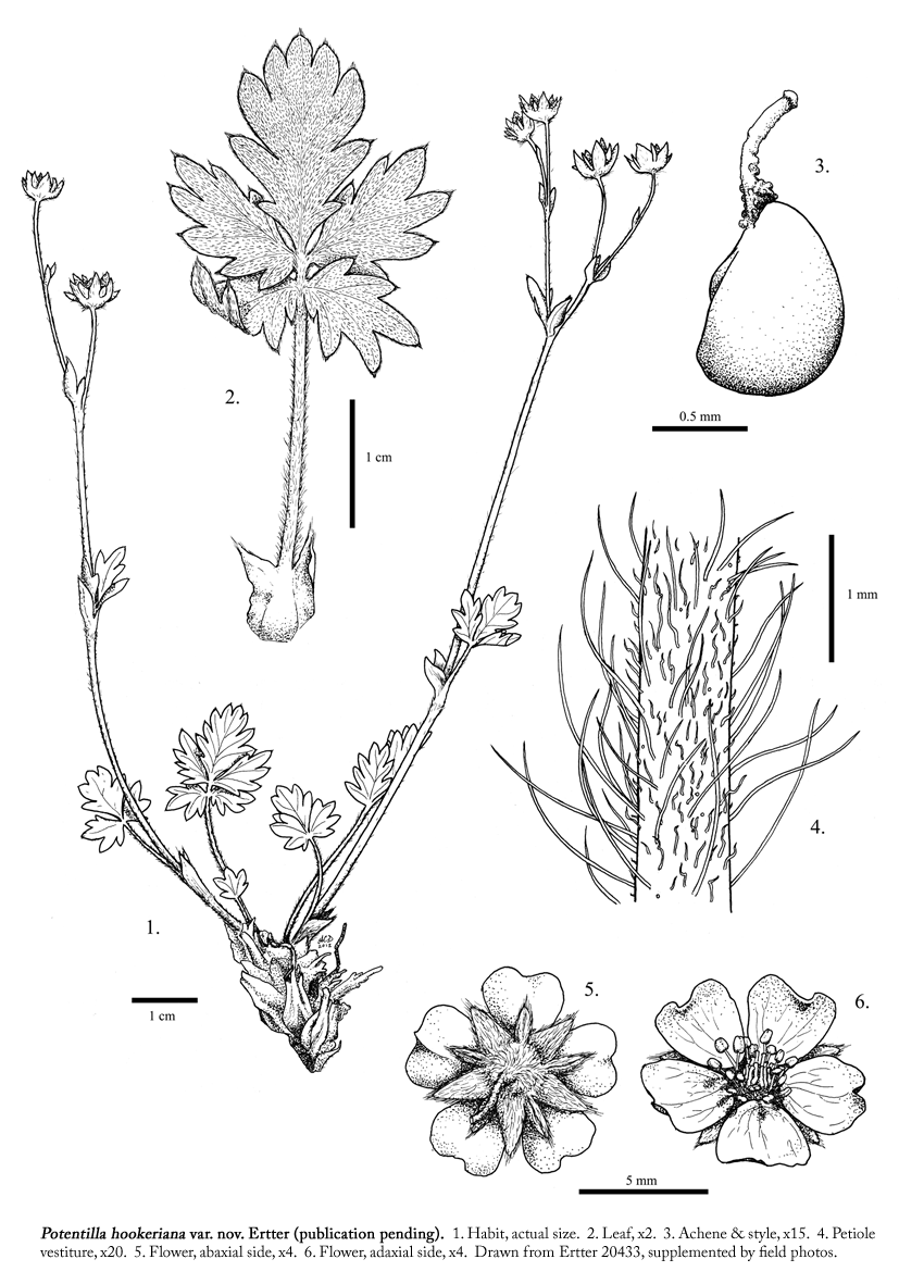 Potentilla hookeriana var. charletii taxonomic illustration by Alexa DiNicola