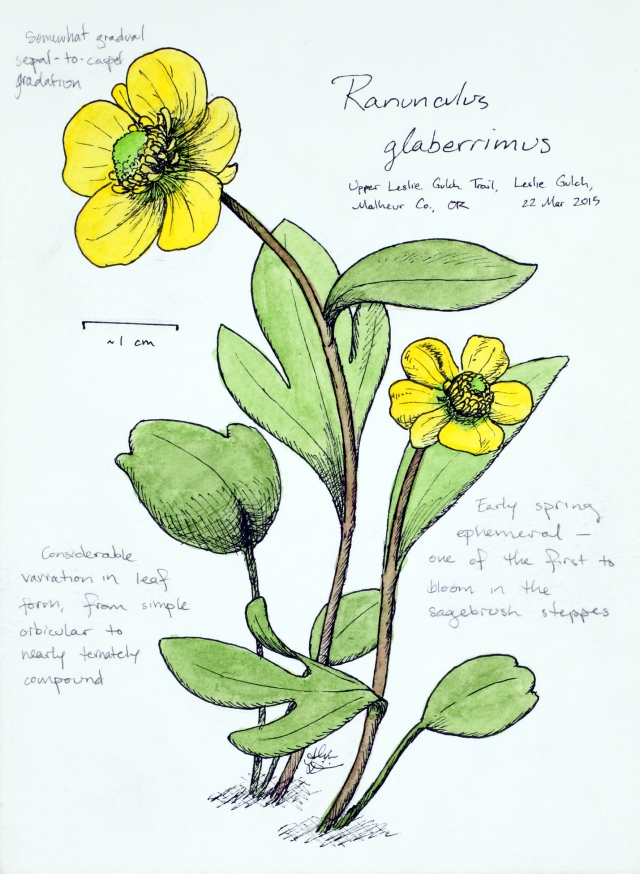 Ranunculus glaberrimus (sagebrush buttercup) drawing by Alexa DiNicola
