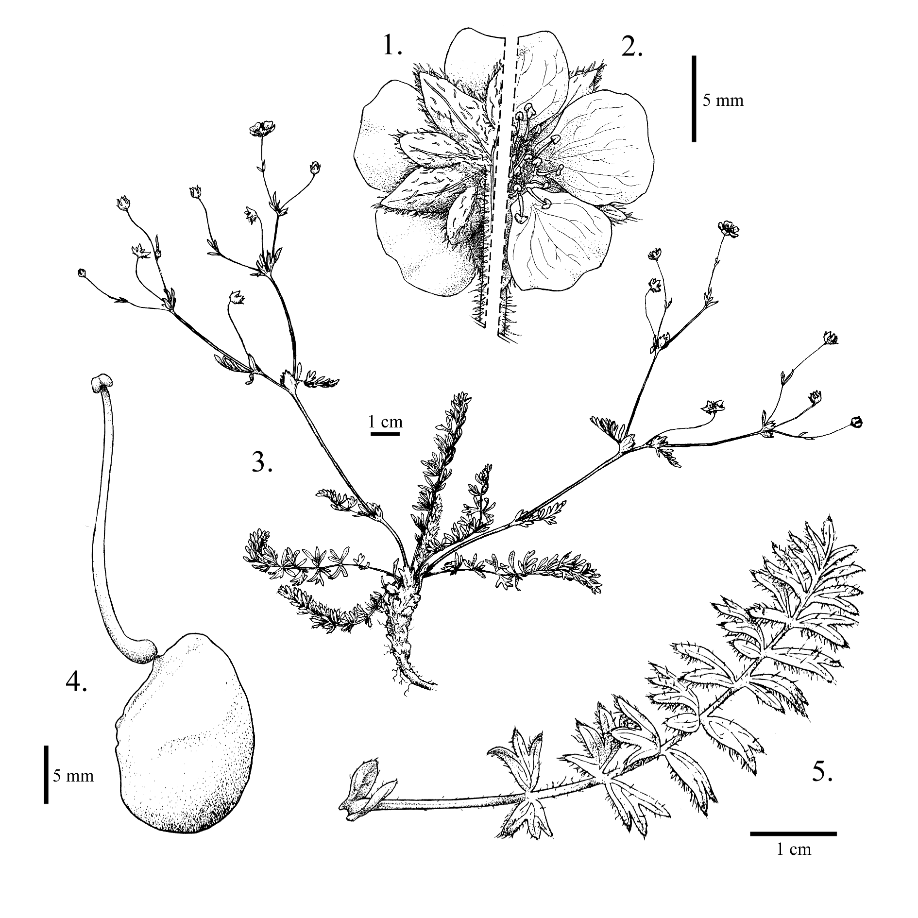 Potentilla versicolor var. darrachii taxonomic illustration by Alexa DiNicola